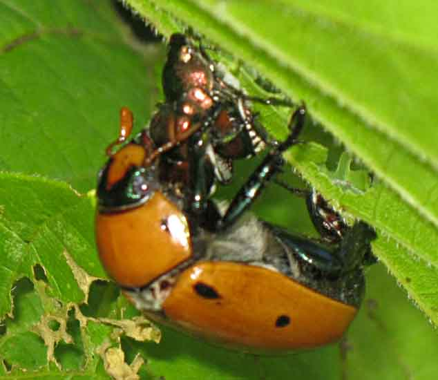Interspecies Mating: Japanese Beetles and Grapevine Beetle