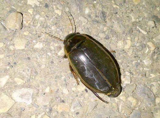 Predaceous Diving Beetle Life Cycle