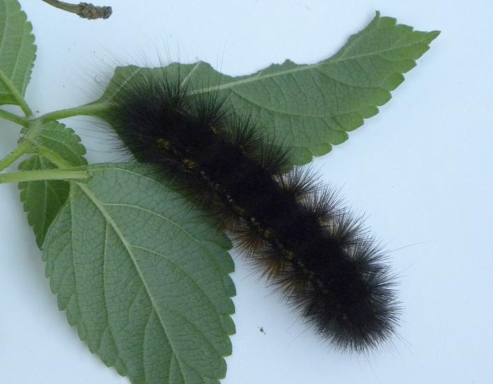 Caterpillars And Pupa Archives Page 206 Of 434 Whats