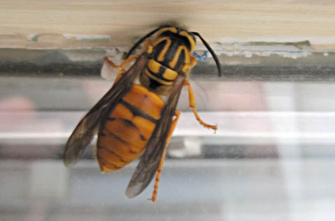Yellow Jacket Queen Identification Southern Yellowjacket Queen