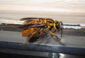 Pin by Eileen Kramer on Tree of Life -- Hymenoptera -- Wasps | Pinter
