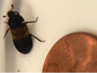 Larder Beetle What S That Bug