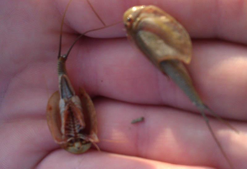 Tadpole Shrimp in Texas
