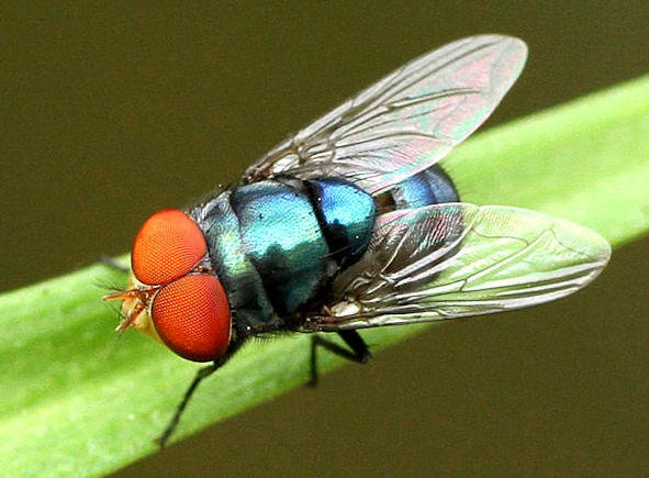 Blowfly blow flies Archives - ...