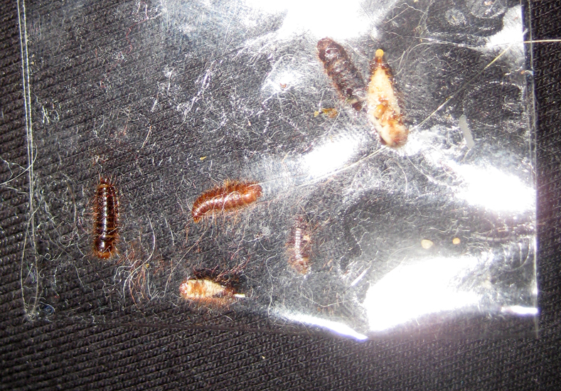 Carpet Beetles Larvae Photos - Carpet Vidalondon