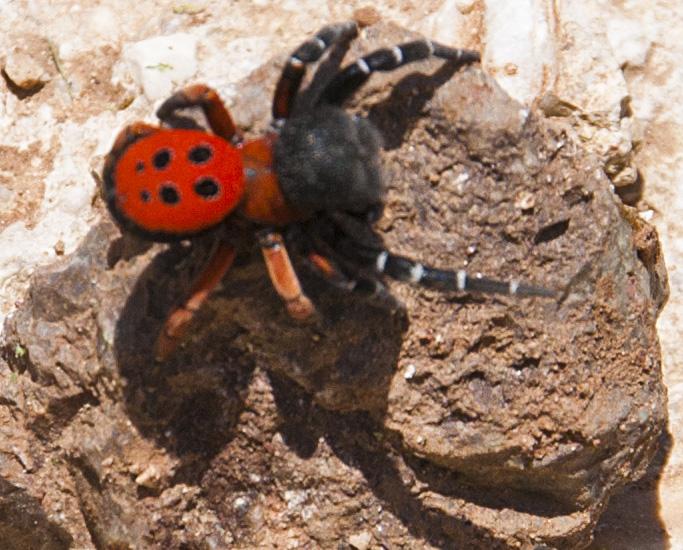 Orange brown bug  looks like lady bug  Orkincom