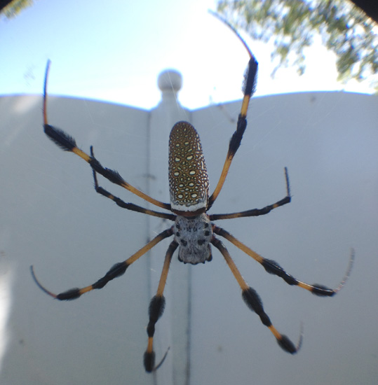 Golden silk spider what 39 s that bug for What do we use silk for