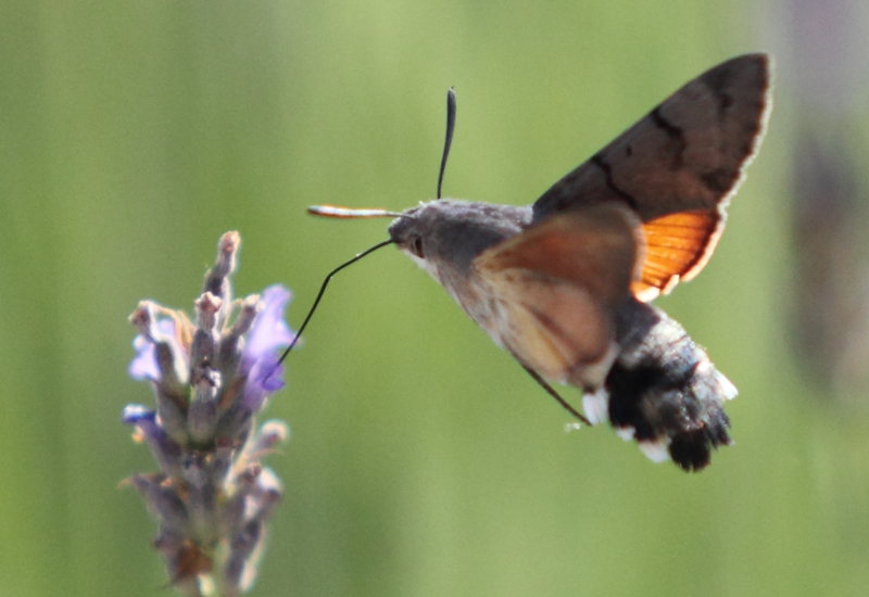 Hummingbird Hawkmoth from France - What's That Bug?