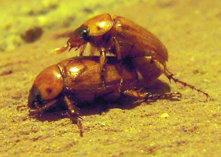 Mating June Beetles or Masked Chafers - What's That Bug?