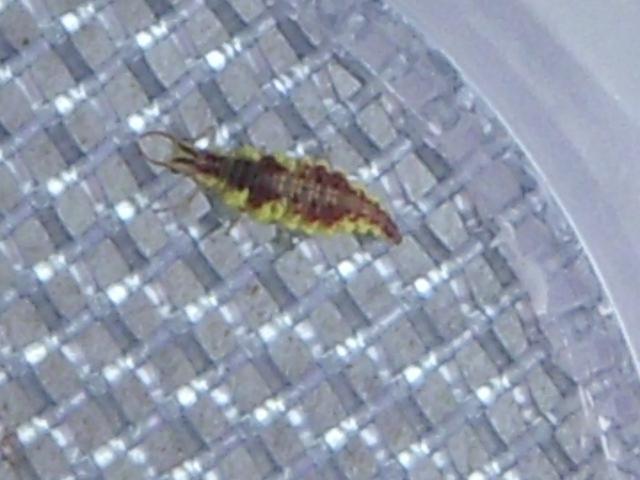 Lacewing larvae bite
