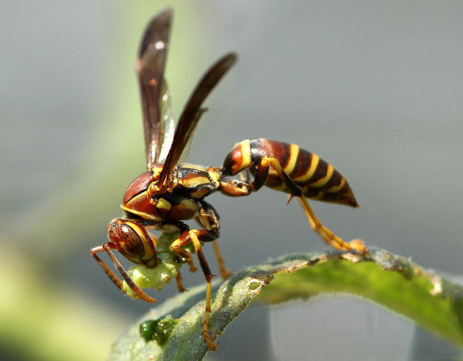 Image result for guinea wasp