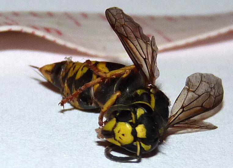 Widow Yellowjacket - What's That Bug? | 763 x 550 jpeg 169kB