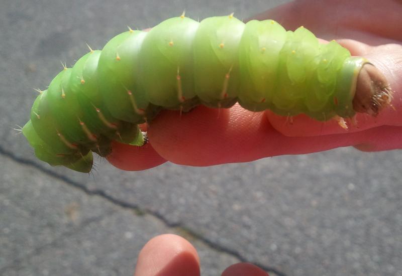 polyphemus caterpillar whats that bug