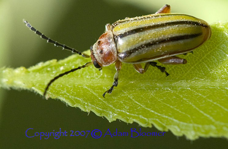 Leaf Beetle Striped Willow Leaf Be...