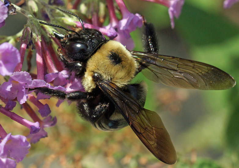 Carpenter bees - photo#25
