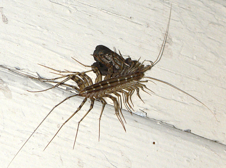 house centipede eats moth what 39 s that bug. Black Bedroom Furniture Sets. Home Design Ideas