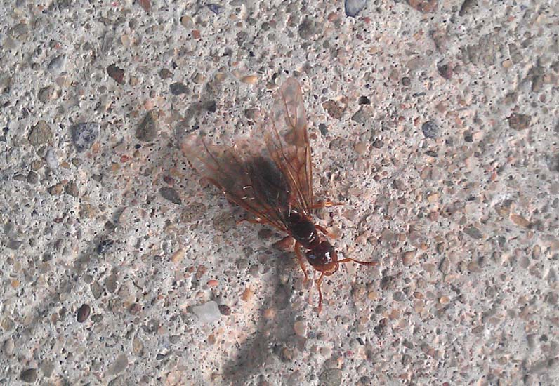 Flying Ant - What's That Bug?