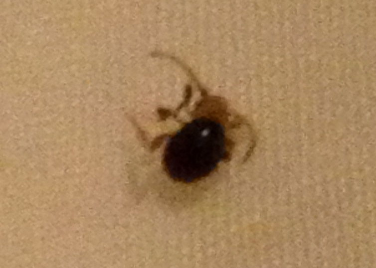 Spider Beetle Found In Human Arm Pit What S That Bug