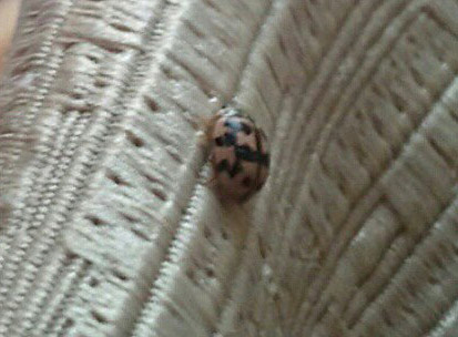 Fourteen Spotted Lady Beetle From Romania What S That Bug