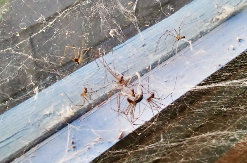 cellar spiders dine what 39 s that bug