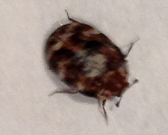 Variegated Carpet Beetle What S That Bug