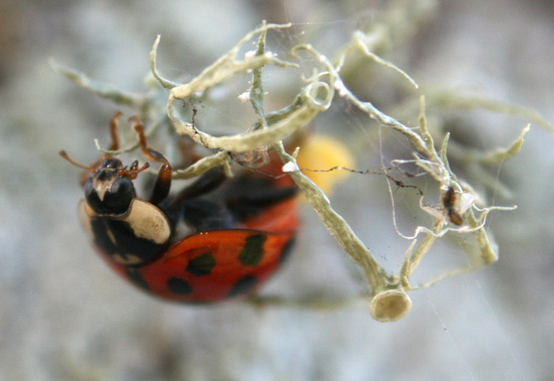 Asian multicolored lady beetle egg