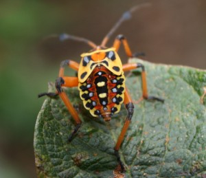 Giant Mesquite Bug Nymph
