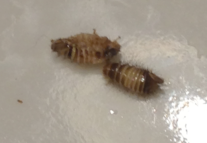 Bed bug first stage larvae - photo#15