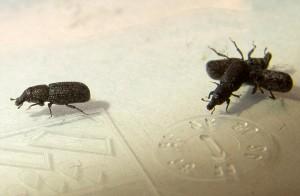 Weevil Infestation In Austria Is Caulophilus Oryzae What