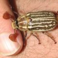 10_line_june_beetle_arizona
