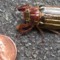 10_lined_june_beetle_john