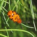 12_spotted_asparagus_beetle_sonia