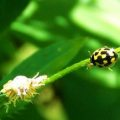 14_spotted_lady_beetle_laura