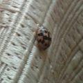 14_spotted_ladybird_romania_alexandru