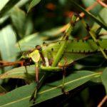 32_spotted_katydid_australia_trevor