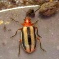 3_lined_potato_beetle_james