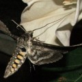 5_spotted_hawkmoth_eric_