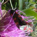 6_spotted_burnets_mating_uk_gill