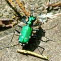 6_spotted_tiger_beetle_janet
