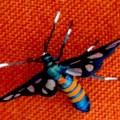 Euchromiina_zambia