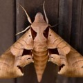 Dead leaf moth, Albuquerque, NM, June 30, 2012. (Photo by David Lienemann)