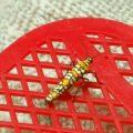 ailanthus_webworm_indiana