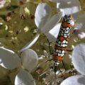 ailanthus_webworm_viburnum_chuck
