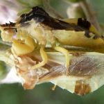 ambush_bugs_mating_cathy