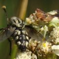 ambush_eats_flesh_fly_brittany