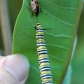 anchor_stink_bug_eats_monarch_caroline