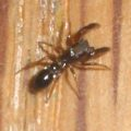ant_mimic_jumping_spider_jennifer