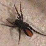 ant_mimic_spider_cyn