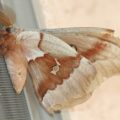 antheraea_moth_arizona