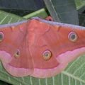 antheraea_mylitta_india_kobita